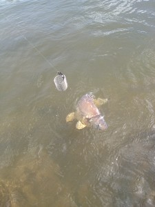 Der typische Feederfisch. K3 Satzkarpfen
